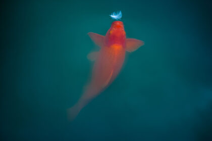 Fine art photography of an orange koi fish attracted by a white feather.